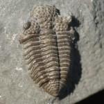 Trilobite Fossils Dudley - Balizoma variolaris BRONGNIART, 1822