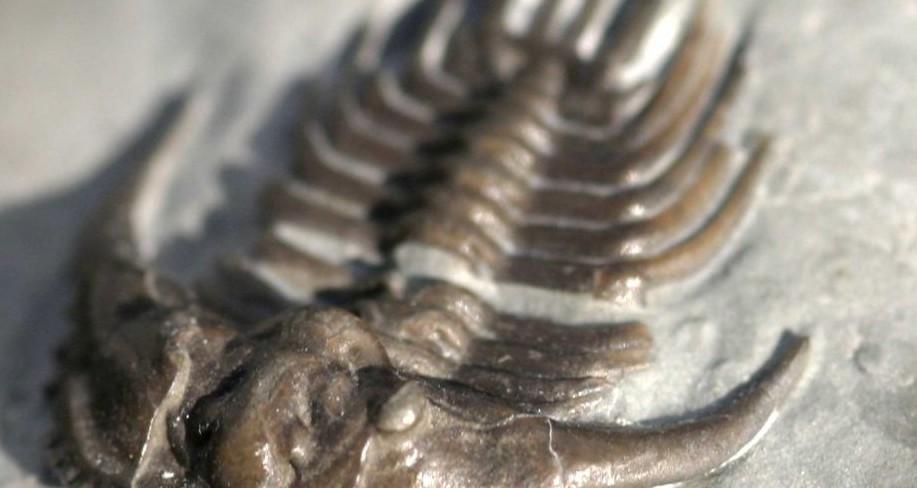 Fossils Dudley - Kettneraspis deflexa Lake, 1896
