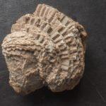 Devonian Fossil Favosites