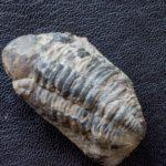 Phacopid Trilobite from Hamar Laghdad.