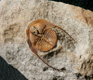 colpete Trilobite of the species Deanaspis goldfussi (BARRANDE, 1846)