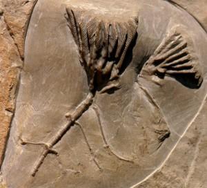 Fossils Dudley - Clematocrinus retiarius Phillips in Murchison,1839